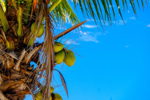 A coconut tree in a tropical country