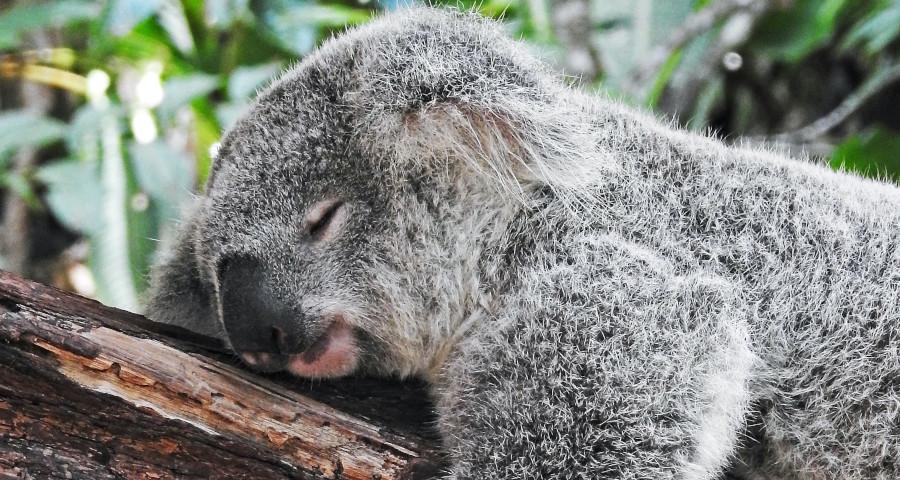 A koala sleeping on a tree branch